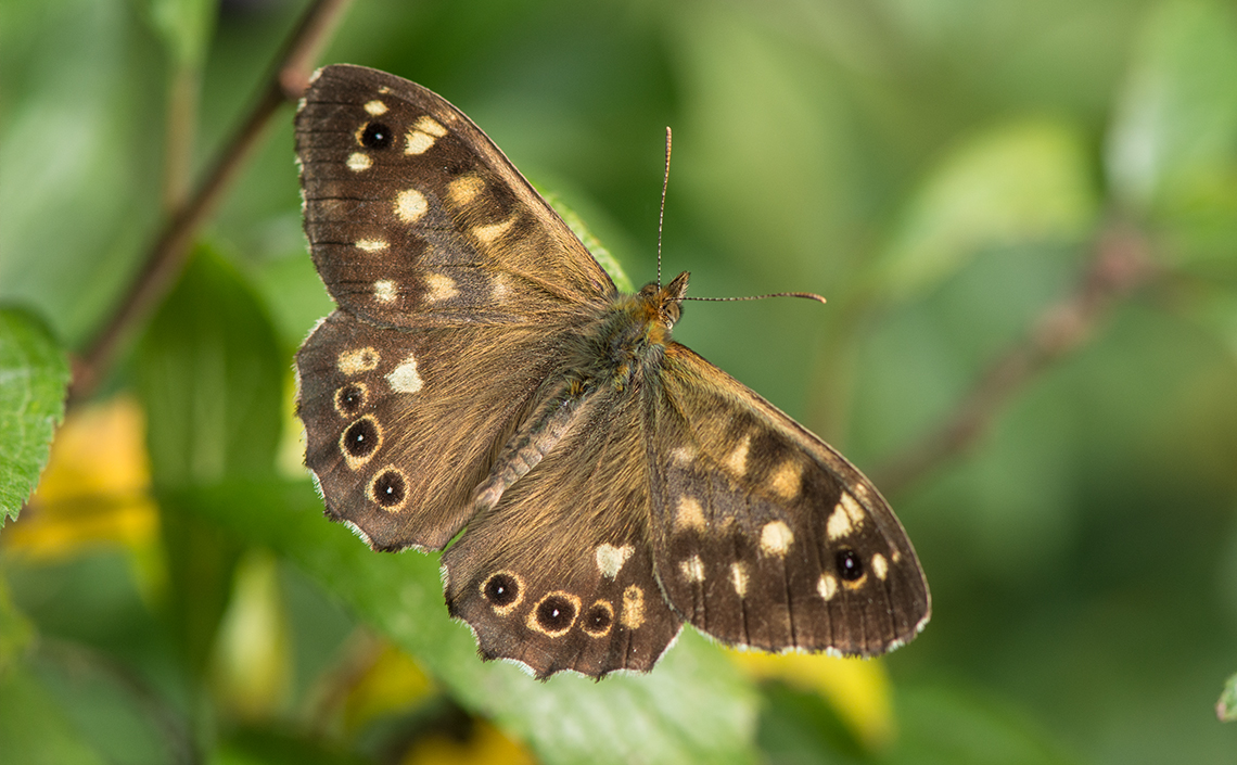 The Speckled Wood did well in 2018, recording its third best year on record.