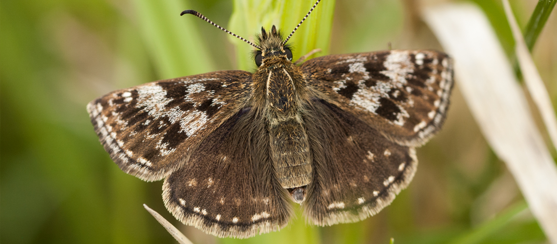 A female Dingy Skipper basking at Prestbury Hill, Gloucestershire. © 2008 - 2019 Steven Cheshire.