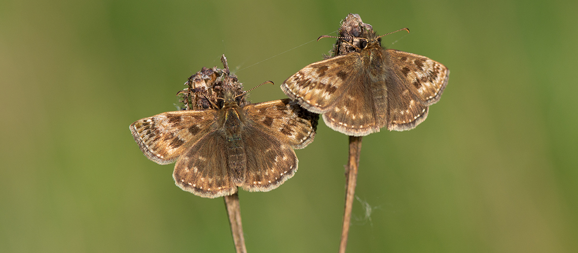 Two male Dingy Skipper butterflies basking in the late evening sunshine at Brandon marsh. © 2018 - 2019 Steven Cheshire.