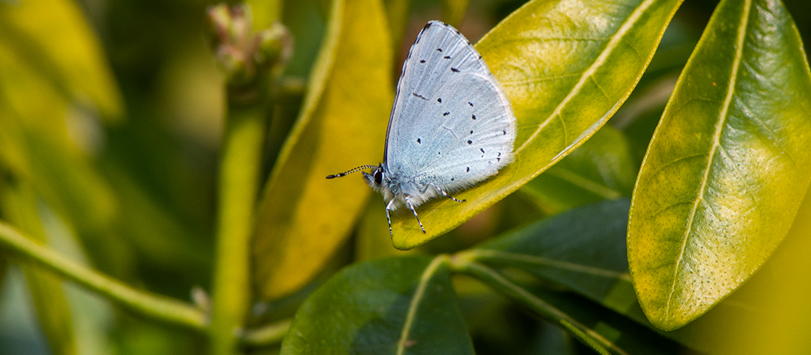 Underside of a spring brood male Holly Blue. © 2019 - 2019 Steven Cheshire.
