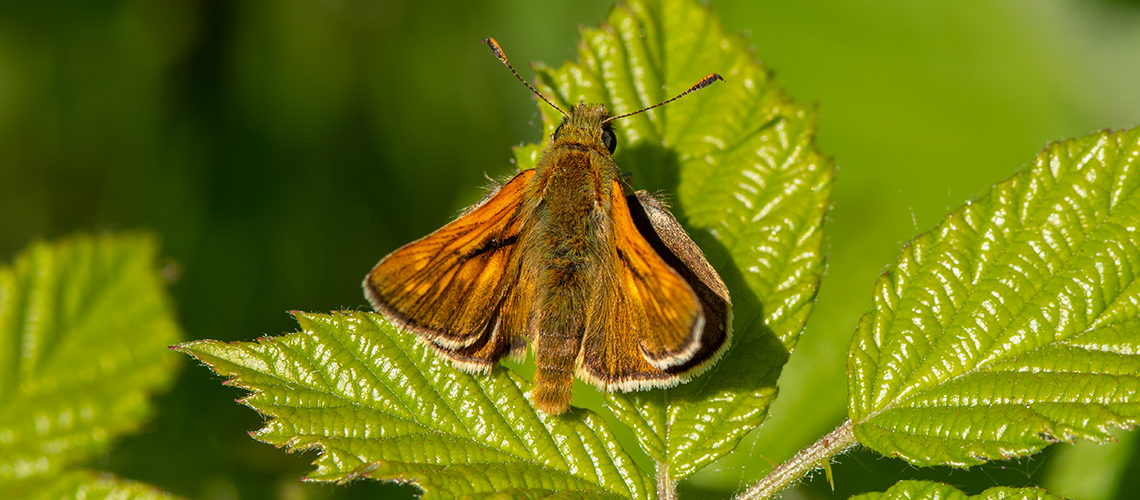 A male Large Skipper basking at Brandon Marsh. © 2018 - 2020 Steven Cheshire.