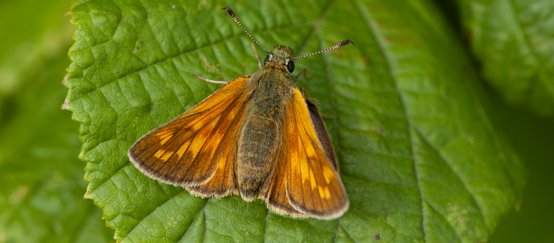 A female Large Skipper basking. © Steven Cheshire 2019.