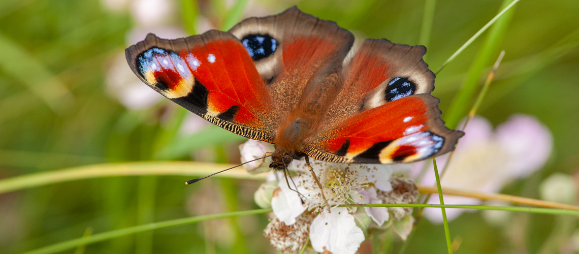 A Peacock butterfly feeding on Bramble at Ryton Wood. © 2007 - 2019 Steven Cheshire.