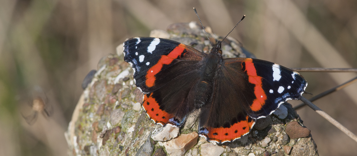Red Admiral basking in late autumn sunshine. © 2019 Steven Cheshire.