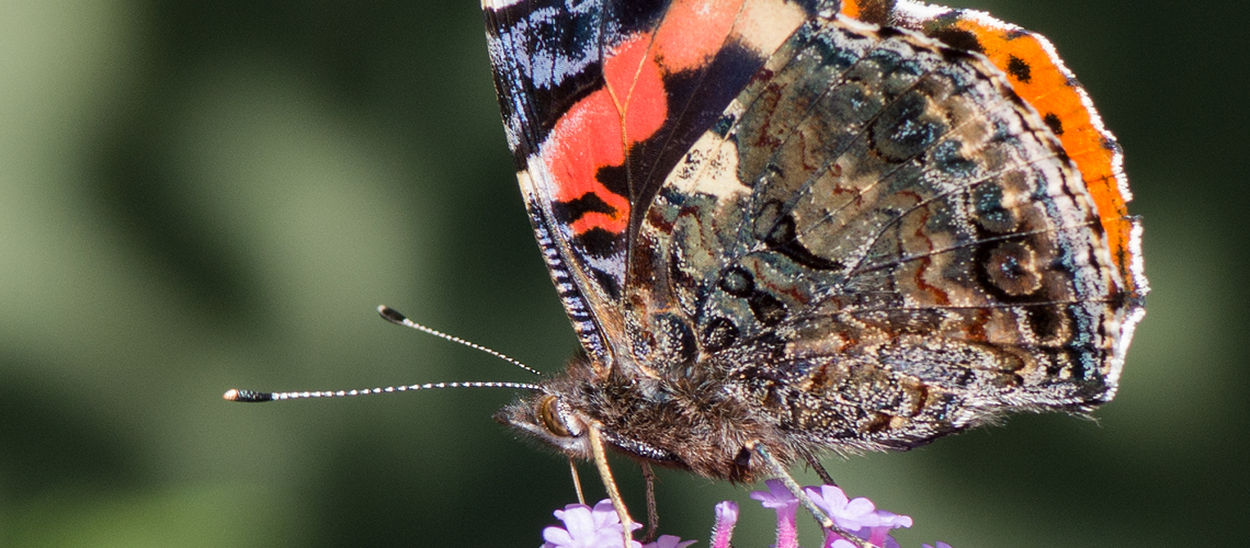 A close-up view of a Red Admiral feeding on Vebena bonarensis. © 2017 - 2019 Steven Cheshire.