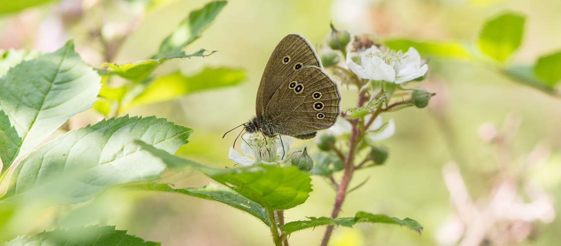 A Ringlet feeding on Bramble flowers at Lineover Wood, Gloucestershire © 2017 - 2019 Steven Cheshire.