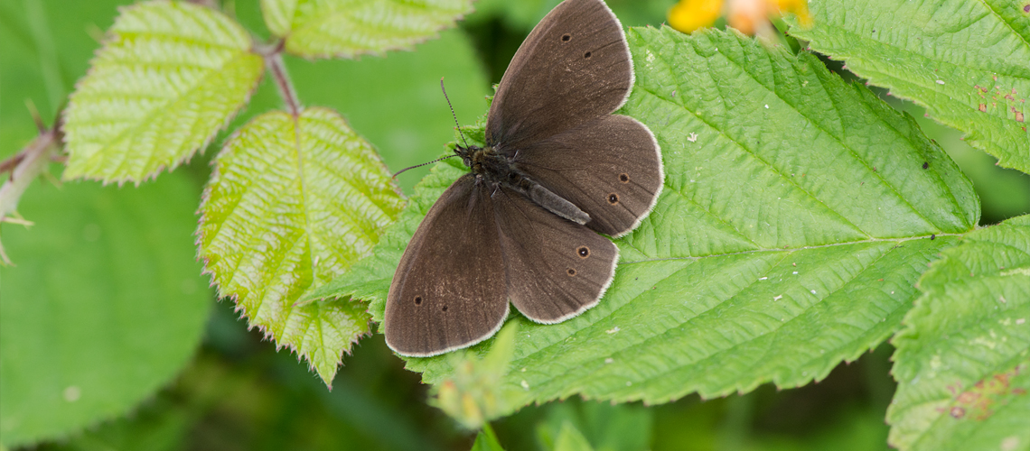 A male Ringlet basking at Ryton Wood Nature Reserve SSSI © 2017 - 2019 Steven Cheshire.