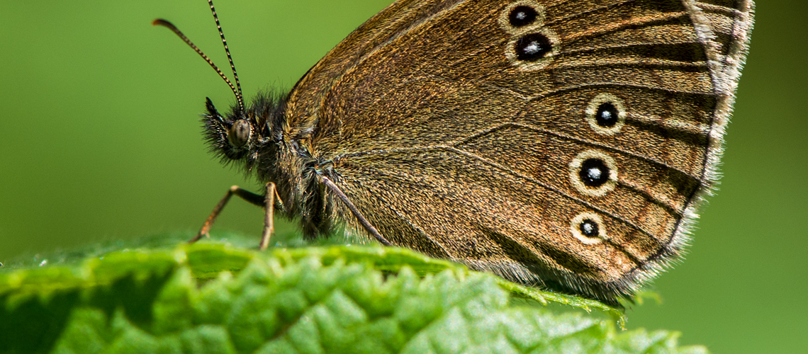 A Ringlet resting at Oversley Wood © 2017 - 2019 Steven Cheshire.