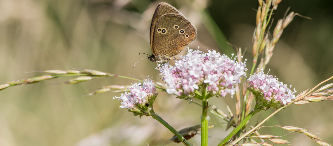 A Ringlet feeding on the flowers of common valerian (Valeriana officinalis) at Brandon Wood © 2017 - 2019 Steven Cheshire.