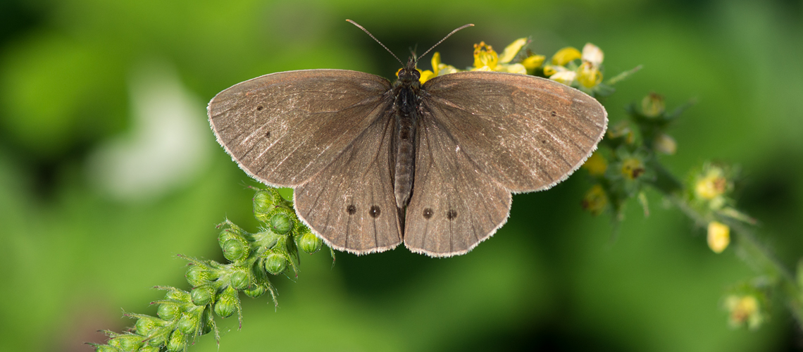 A male Ringlet feeding on the flowers of agrimony (Agrimonia eupatoria) at Brandon Wood © 2017 - 2019 Steven Cheshire.
