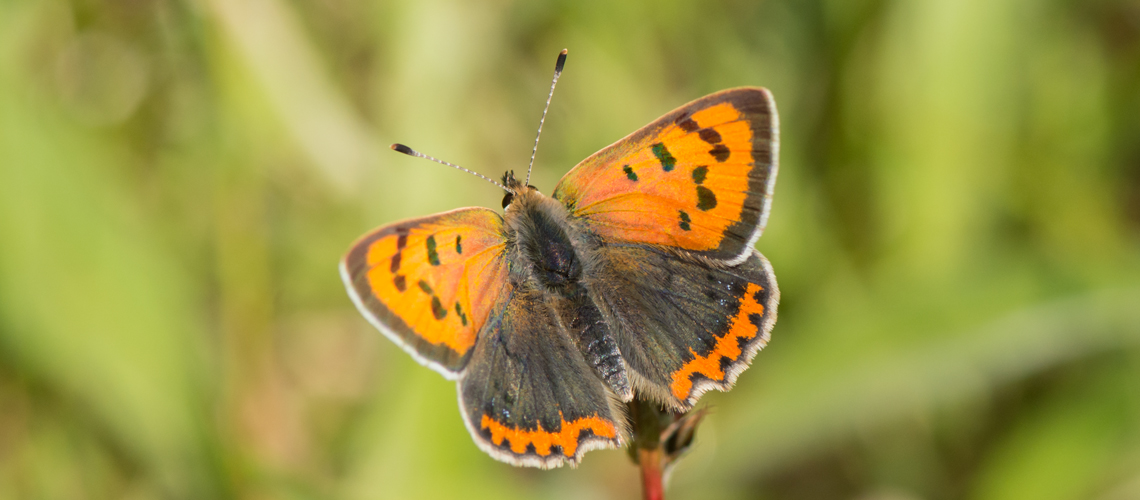 A male Small Copper basking at Brandon Marsh © 2017 - 2019 Steven Cheshire.