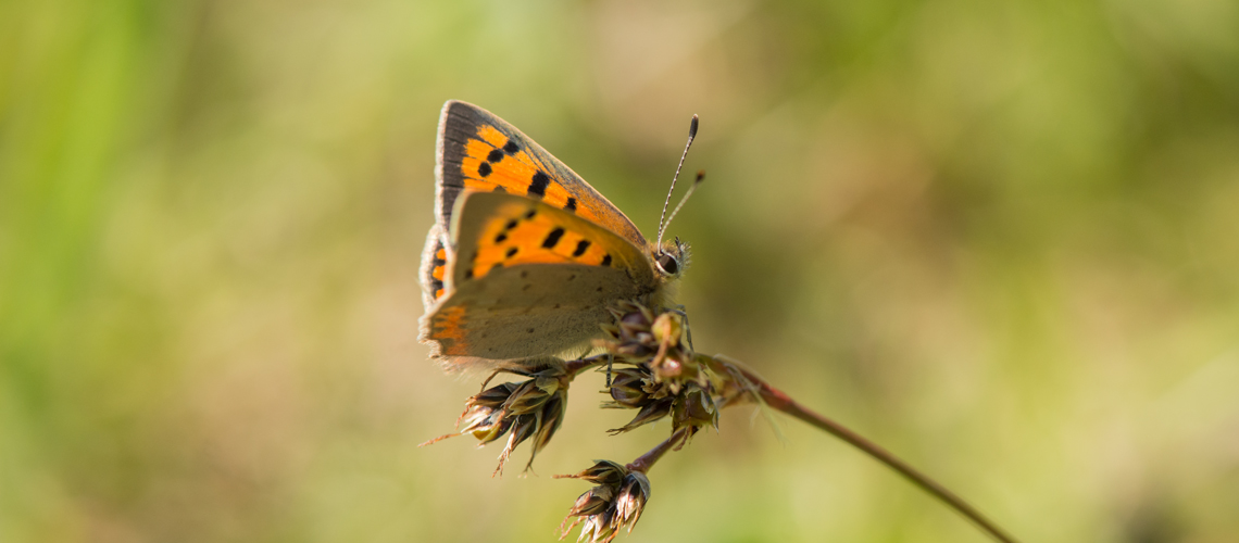 A male Small Copper resting at Brandon Marsh © 2017 - 2019 Steven Cheshire.