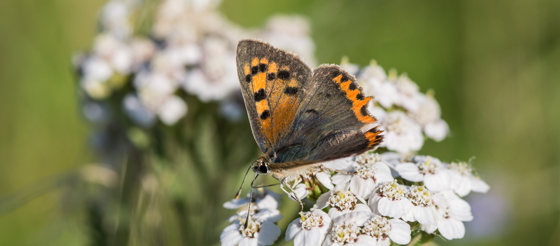 A male Small Copper feeding on Common Yarrow (<i>Achillea millefolium</i>) at Brandon Marsh © 2017 - 2019 Steven Cheshire.