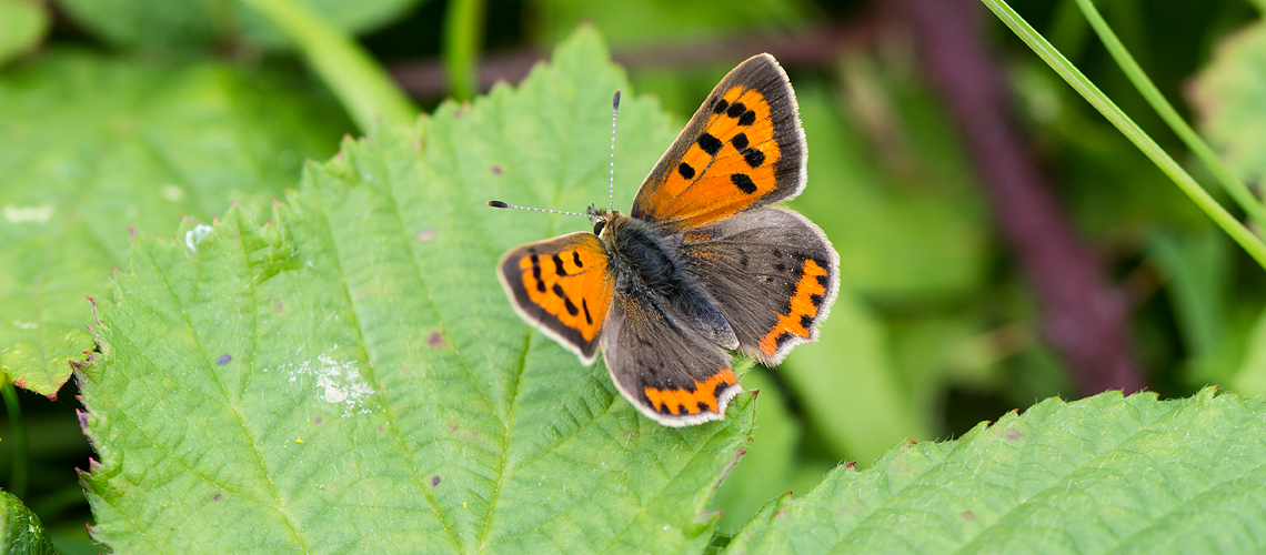 A female Small Copper basking at Brandon Marsh © 2017 - 2019 Steven Cheshire.
