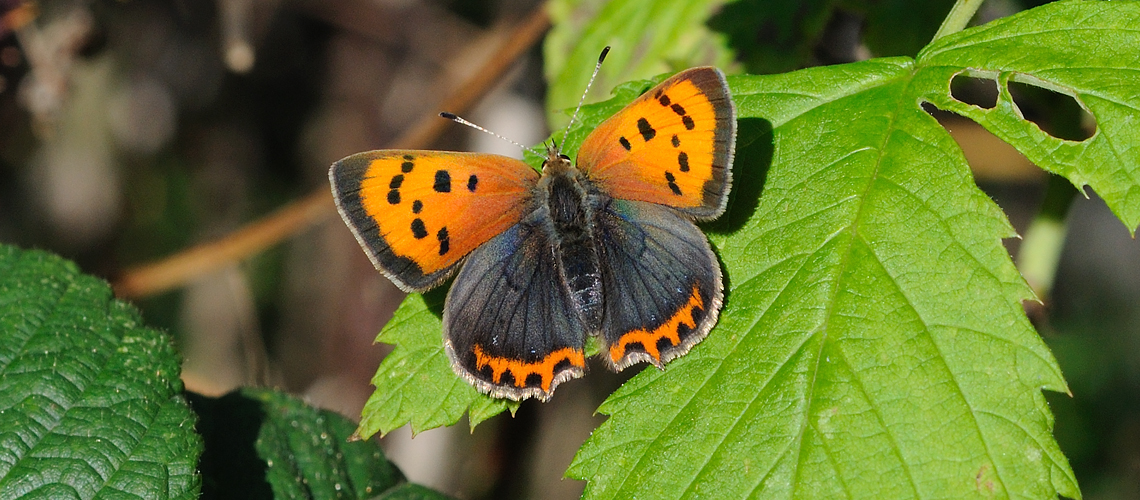 A female Small Copper basking at Brandon Marsh © 2010 - 2019 Steven Cheshire.