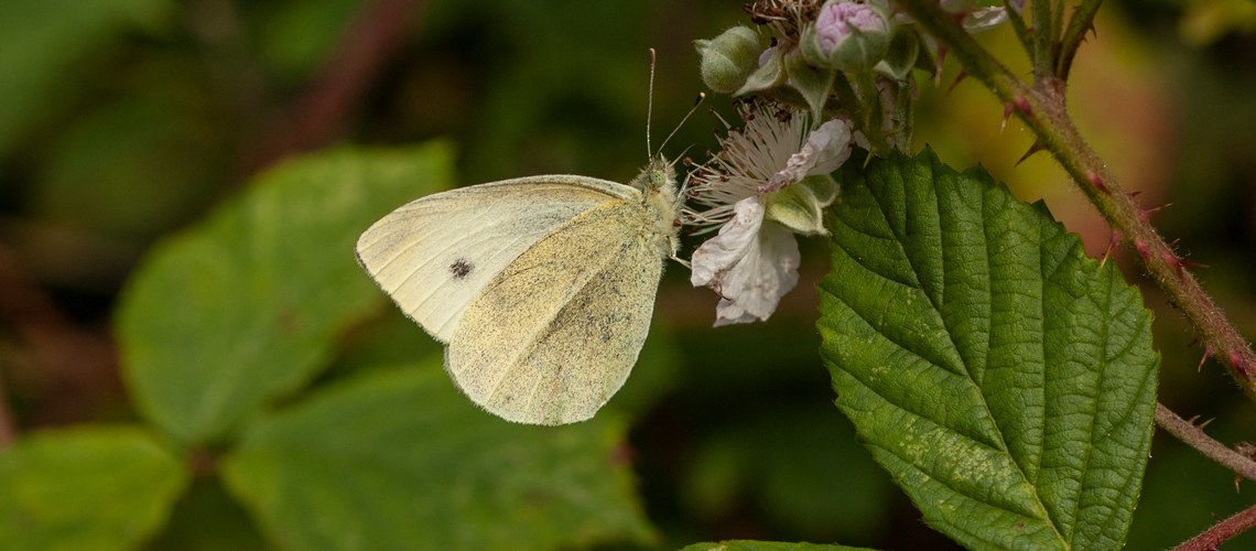 A Small White feeding on Bramble - Weddington, Nuneaton. © 2007 - 2019 Steven Cheshire.