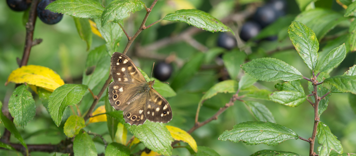 A male Speckled Wood resting in a Blackthorn bush at Brandon Marsh Nature Reserve, Warwickshire. © 2017 - 2019 Steven Cheshire.
