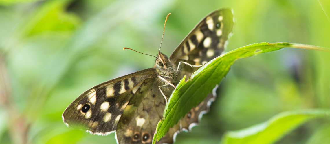 A male Speckled Wood basking in autumn sunshine at Brandon Marsh Nature Reserve, Warwickshire. © 2017 - 2019 Steven Cheshire.