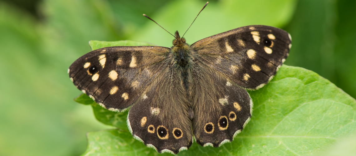 A male Speckled Wood basking at RSPB Otmoor, Oxfordshire. © 2017 - 2019 Steven Cheshire.