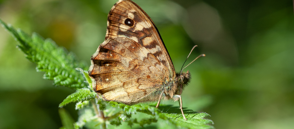 A Speckled Wood resting - Weddington, Nuneaton. © 2007 - 2019 Steven Cheshire.